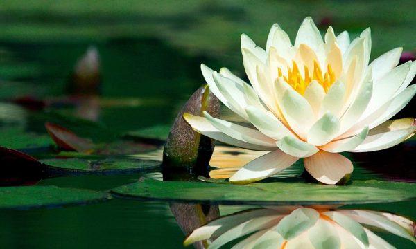 Il tesoro d'Oriente: l'incanto del loto